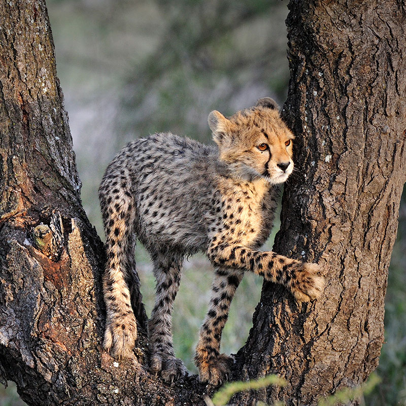 baby cheetah in a tree